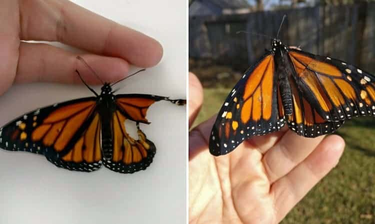 repair-monarch-butterfly-wing